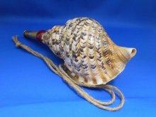 他の写真2: 戦国法螺貝 龍神 クラッシック B級品